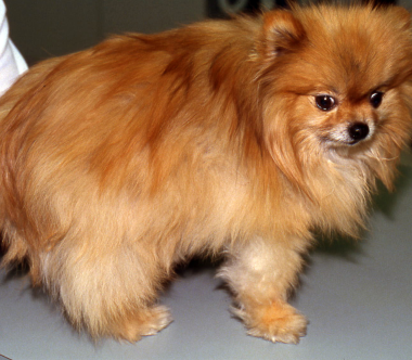 pomeranian allergies acvd org alopecia x veterinarians with specialized training in skin ears and allergy 8426